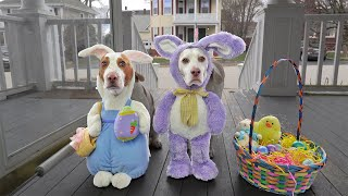 Bunny Dogs Trick or Treat on Easter: Funny Dogs Maymo & Potpie vs Giant Bunnies