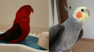 Cute birds trick | Cute Funny Parrot Videos Compilation P #07 | Cutest Parrots