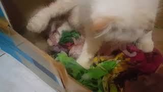 @Lucky Pawison  Cat Giving Birth 4 Kittens  #Shorts .