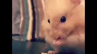 Funny Hamsters Videos Compilation 1