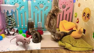 Kittens play live