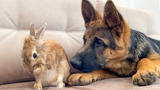 German Shepherd Puppy Reacts to how the Bunny Washing His Face