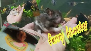Cute Hamster !!!!! Funny Hamsters Videos compilation #4