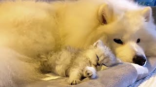 Fluffy Dog Absolutely Adores His New Kitten Friend