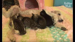 A Dog Became A Mom Of Kittens After Losing Her Puppies | Kritter Klub