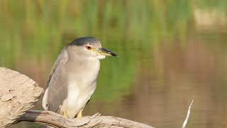 Funny Birds -Very Tired Black-crowned Night-Heron – filmed on Panasonic GX85