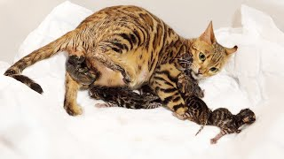 Bengal Cat Giving Birth to 5 Kittens – Beautiful & Emotional