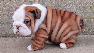 Bulldog Puppies 😍 Cute Bulldog Puppy Videos