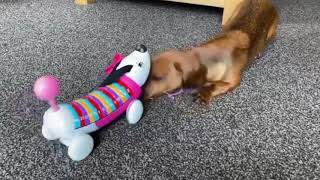 Funny Dachshund Dogs Cute try Not To Laugh Videos | Funny And Cute Dogs Videos Compilation