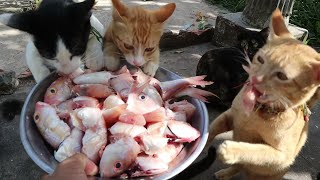 Hungry cats eating raw fish | Hungry kittens eating fish | The Gohan Dog And Cats