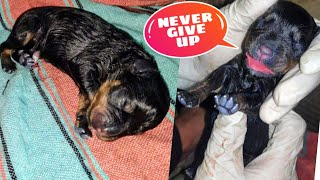 This Puppy Is Not Breathing😰 ||  Roxy Puppies | Revive Rottweiler puppy after birth. Review reloaded