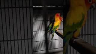 Sunconure Parrot Ready to breed | Cute birds memes | Funny clip