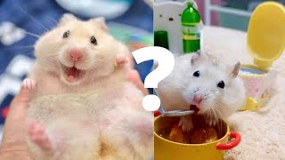 Syrian Hamster Cute | Funny Hamsters Videos 2021