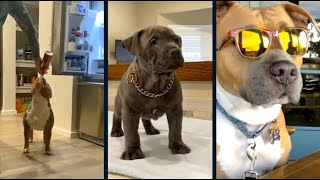 Cute Pitbulls EP 21 || Cute and Funny dogs compilation.