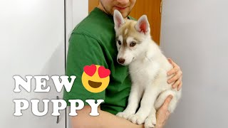 NEW HUSKY PUPPY GOING HOME on the channel NORTH YUKI