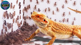 Bearded Dragon VS 1000 Crickets 🦎What If The BEARDED DRAGON Sees 1000 CRICKETS ?