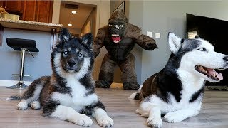 Huskies vs. Scary Gorilla Prank: Funny Dogs Kakoa & Sky