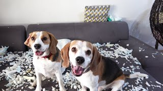 Funny Dogs Blame Each Other Even When They Are Not Guilty | @Charlie The Beagle