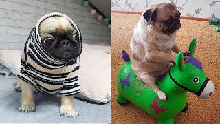 Cutest Pug Puppies Video Compilation – Funny Pug Compilation