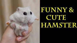 Funny & Cute Hamster Compilation || Funny hamsters ||