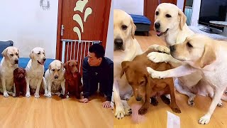 The owner plays games with funny dogs🤗Mother and son snatch good food🤣Labrador bullies the dog.