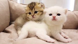 Fluffy Meowing kittens🥰