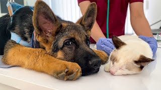 German Shepherd Puppy and Kitten's First Visit to the Vet!
