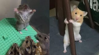 Cutest & Funniest Hamsters Videos of All Time Compilation Try Not To Laugh 2021