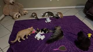 Cute And Funny Cats And Kittens Playing Together