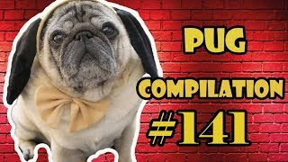 Pug Compilation 141 – Funny Dogs but only Pug Videos | Instapug