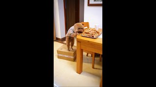 Baby Dogs – Cute and Funny Dog Videos   Teddy dog   Aww Animals   cute dogs  Cute Animals and Pets