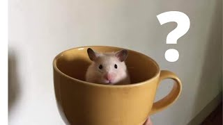 Cutest & Funniest Hamsters Videos of All Time Compilation Try Not To Laugh 2020