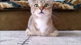 Silly and Super Cute Cats Compilation