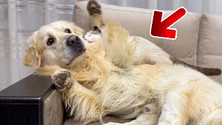 Golden Retriever Attacked by Kitten [TRY NOT TO LAUGH or GRIN]