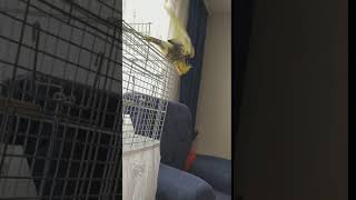 Flying Cockatiel