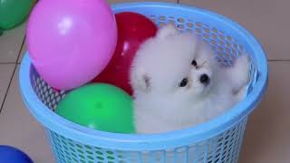 Cute Pomeranian Puppy & Balloon | Funny Dogs Puppies | Min Puppy | MR PET 1