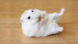 Funny and Cute Hamster Compilation 🔴 – Funniest Hamsters Of All Time 2020 #2