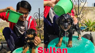 Sultan And Puppies First ad Last Bath. Rottweiler Puppies Taking Bath.Roxy ke Bacche,Review reloaded
