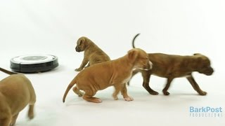 Adorable Puppies and a Roomba – Let's See What Happens!