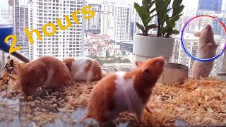 2 hours of Hamster activity tracking – But unprecedented interesting action – Henry Nguyen