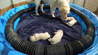 LIVE PUPPY CAM! Lab Puppies Day 4 – So Cute!