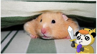 How to Setup a Hamster Cage I Funny Hamsters Videos I Setting Up A New Hamster Enclosure Pet Stories