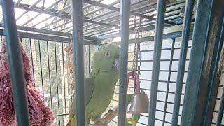 Parrot | Talking Bird , said hello and whistle | funny bird parrots