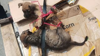 Rescue two poor puppies who were tied up by a man selling lottery tickets to the slaughterhouse