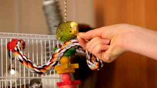 Green budgie Charlie listening classical music and eating. Funny parrots  Funny birds.  Budgie.