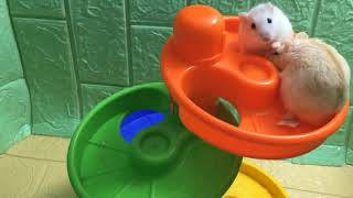 The Litter Hamters Play Game Part 1 – Funny Hamsters