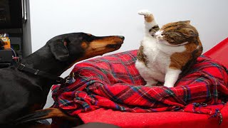 Angry Cats VS Dogs Funny Compilation