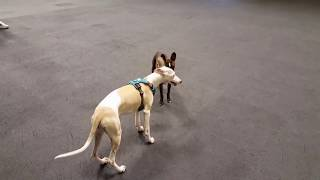 Fun Play Time with Three Small Cute Dogs at Canine Country Academy