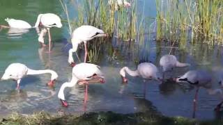 Young Flamingoes Skimming Water Food silly funny birds shrimp feeding Busch Gardens Tampa Florida