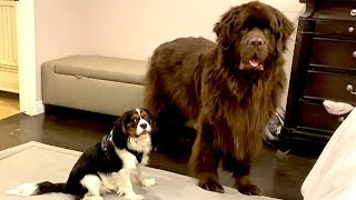 Newfie tries to bark quieter while playing with puppy friend